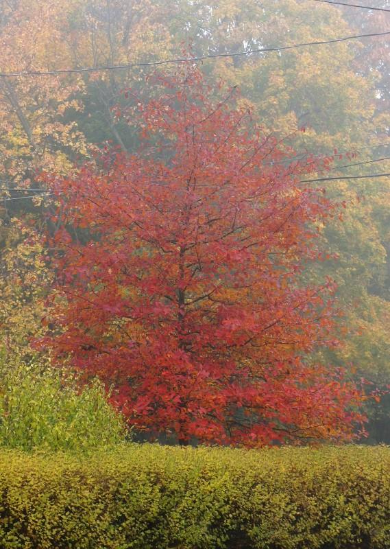 black-tupelo-fall-foliage-website